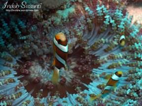 Clarke Anemonefish