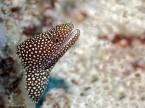eel morays