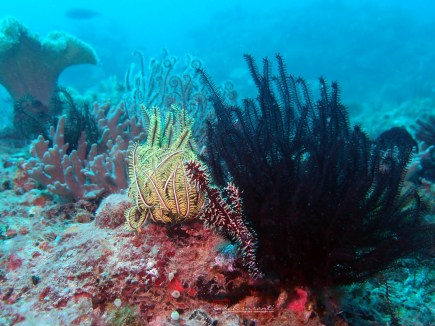 Ghost pipefish and crinoid