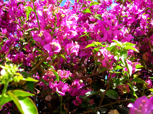 Spanish bougainvillea Caravaca