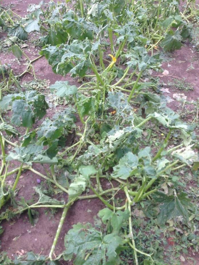 36854888_273306613246313_4648481565892935680_n Breshëri dëmton kulturat bujqësore në Podujevë (Foto)