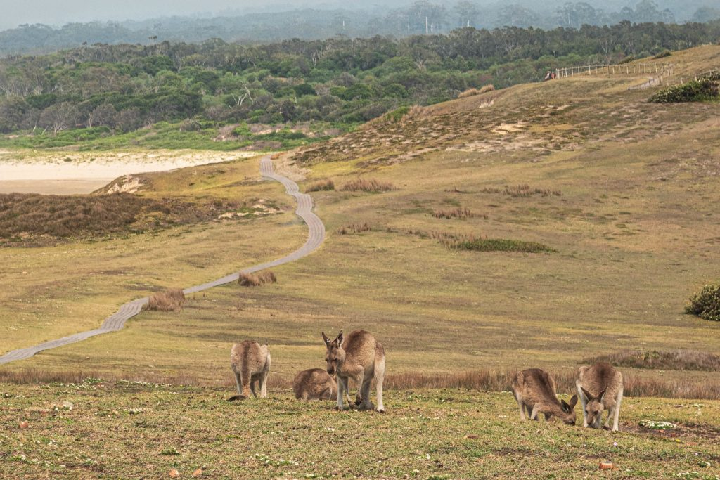 Kangaroos grazing on the Look at me Now headland at Emerald Beach.