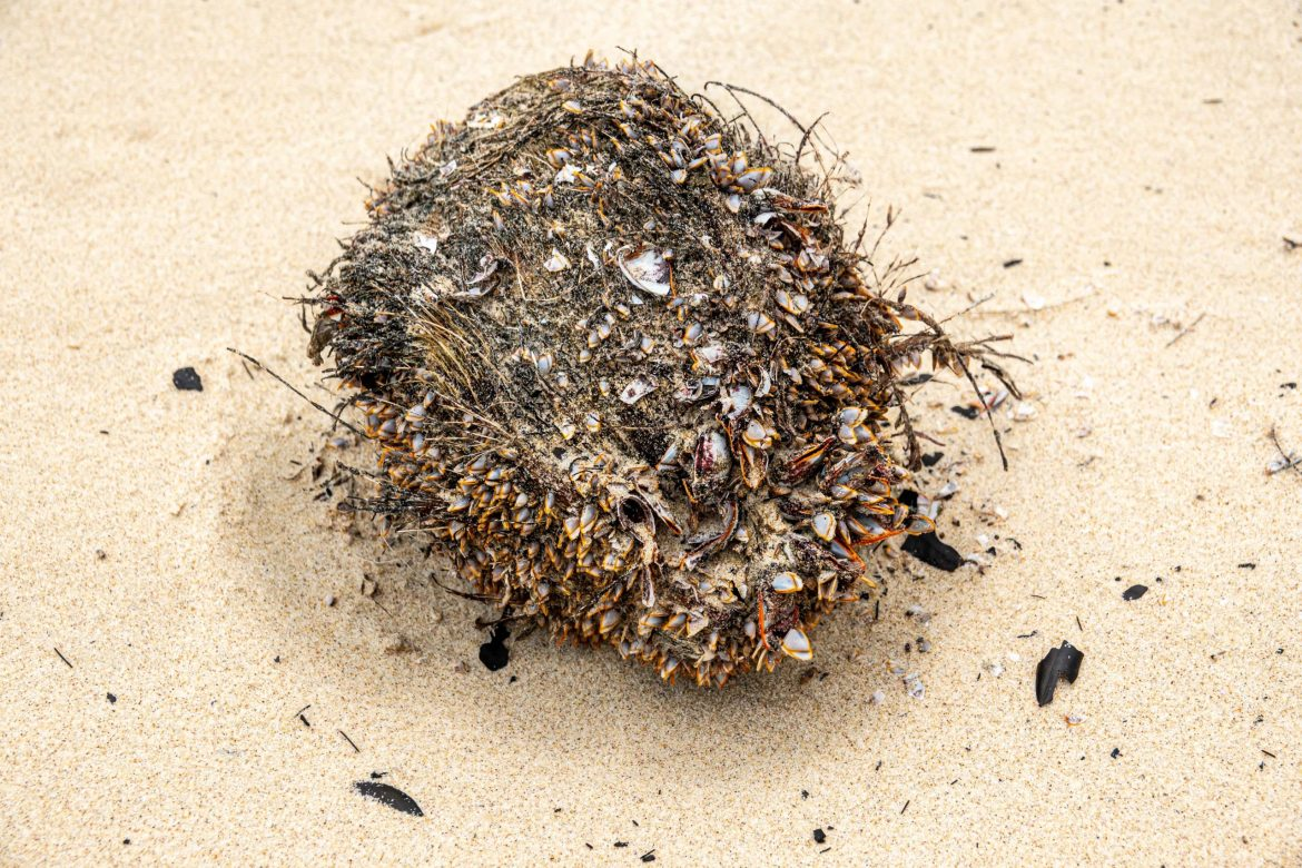 A coconut covered in sea life washed ashore near Byron Bay.