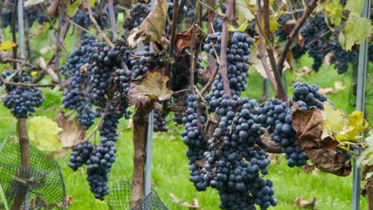 Druiven plukken 2019
