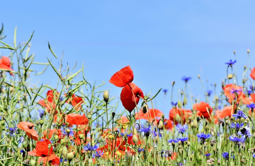 Poppies-blue-sky-garden-flowers