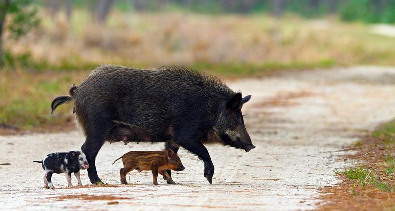 Florida wild hogs pigs