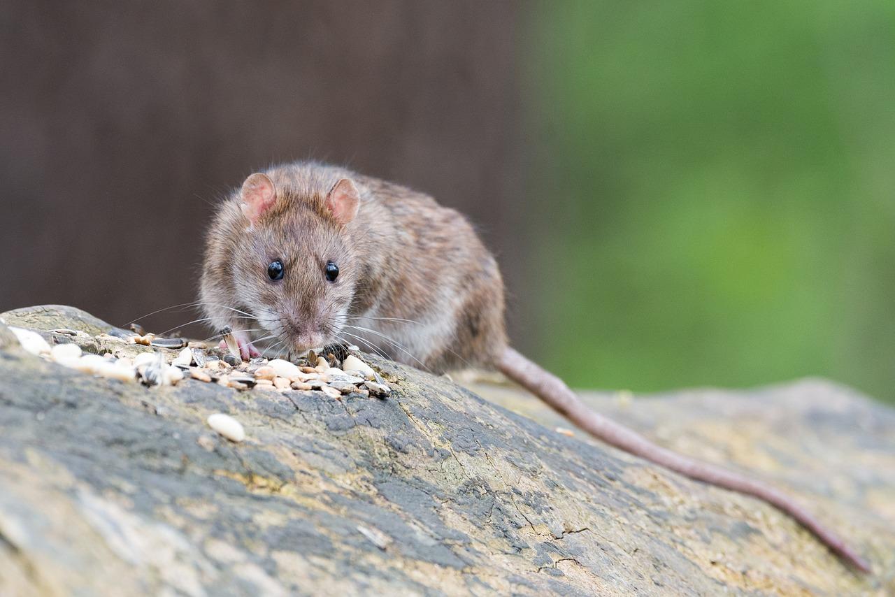 Rat eating food wood log