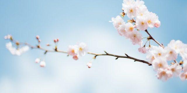Spring blossom blue sky