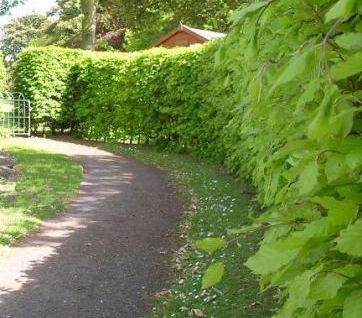 Hedges along path
