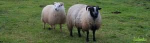 Icelandic sheep in Iceland