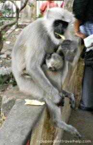 monkey, baby, animals, india, rishikesh