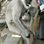 monkey, baby, animals, india, rishikesh