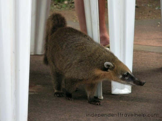 Food, coati, south america, iguazu