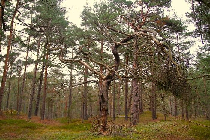 Darßer Urwald
