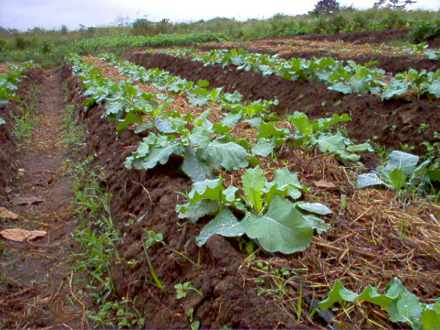 Survival Garden with Drip Irrigation, Green Mulching and Collard Green, Accra, Ghana, 2008