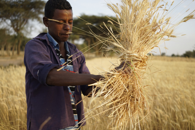 Agricultural scientists urge new global crop alliance to secure future food supply