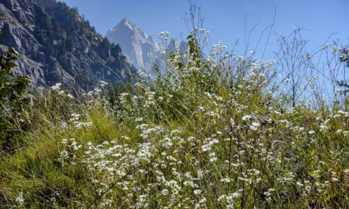 Flowers in the mountains in Sangla valley