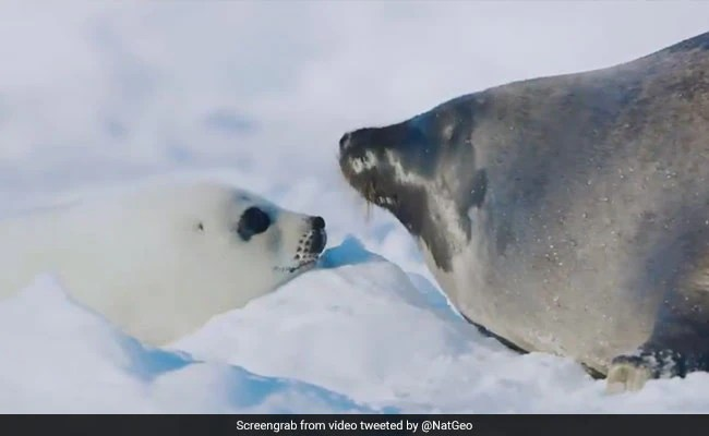 A Kiss Is How A Seal Mom, Pup Recognize Each Other. See Here