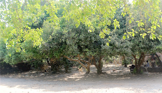 The Puthupet sacred grove near Puducherry. (Photo by Vivek Pandian)