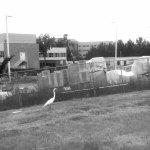 Heron at the Hospital