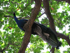 Peacocks at Ramansramam