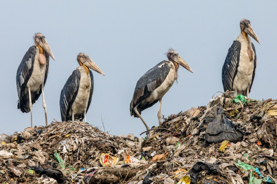 A muster of endangered greater adjutant storks stands atop a landfill.