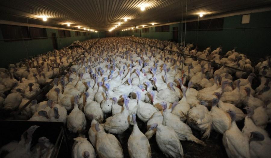 Industrial turkey barn (Jo-Anne McArthur from Djurrattsalliansen)