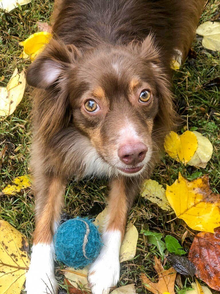 Red Tri Miniature Australian Shepherd