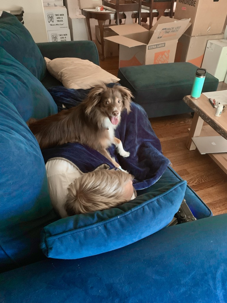 Red tri miniature Australian shephard sitting on a man who is laying on a blue velvet couch