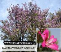 Bauhinia variegata (Kachnar)