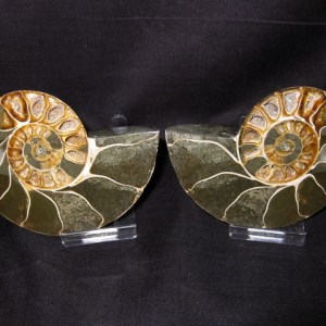 Cretaceous Age Phylloceras Ammonite from Republic of Madagascar