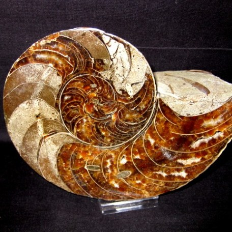 Cretaceous Age Cymatoceras Nautiloid from Republic of Madagascar