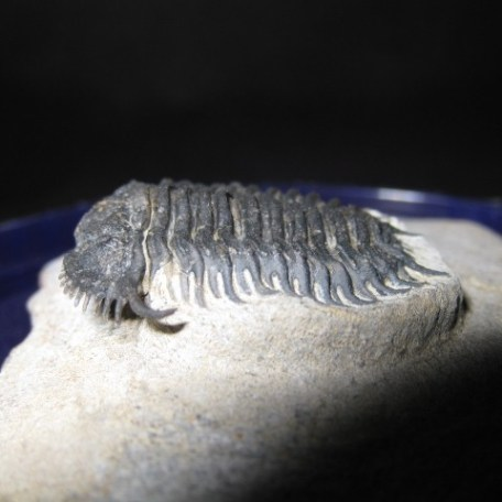 Devonian Age Gondwanaspis Trilobite from Morocco North Africa