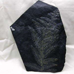 German Carboniferous Age Fern Fossil Plate from Piesberg Quarry near Osnabruck Germany
