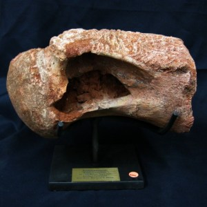 Cretaceous Age Rebbachisaurus Fossil Dinosaur Bone from North Africa