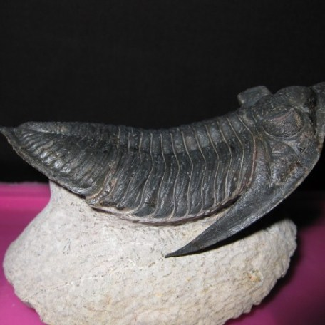 Devonian Age Odontochile Trilobite from Morocco North Africa