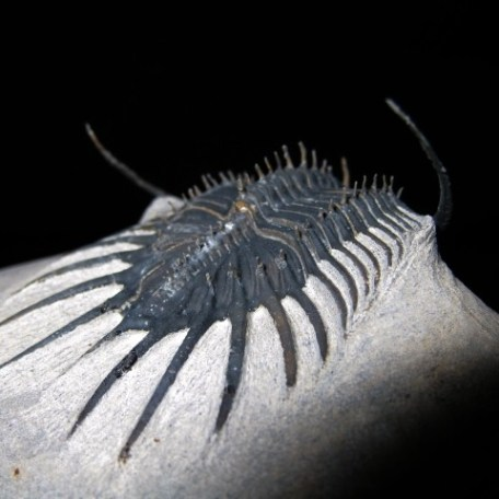 Devonian Age Psychopyge Trilobite from Morocco North Africa