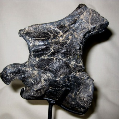 Jurassic Age Fossil Camptosaurus Dinosuar Bone from the Morrison Formation of Wyoming