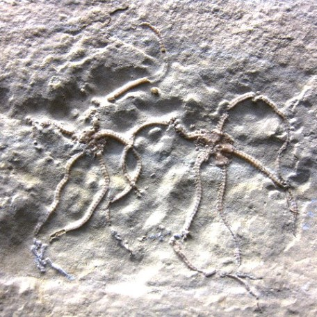 Jurassic Age Fossil Brittle Star from the Lagerstatte Limestone of Solnhofen Germany