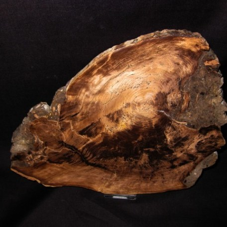 Miocene Age Juniper Petrified Wood Fossil from Nevada