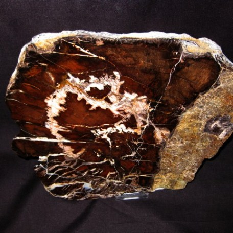 Miocene Age Oak Petrified Wood Fossil from Oregon