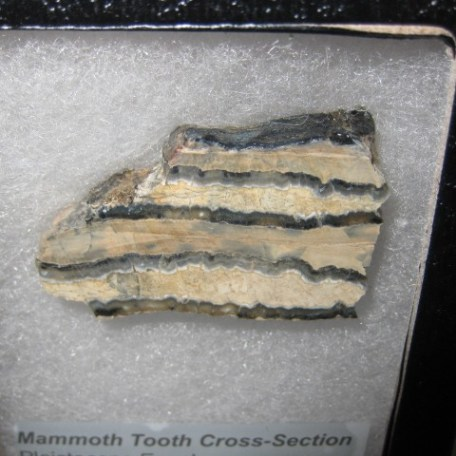 Pleistocene Age Mammoth Tooth Cross-Section Fossil from the Hawthorn Formation of South Carolina