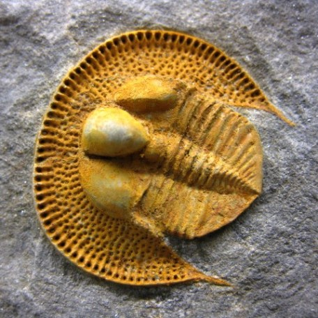 Ordovician Age Fossil Nankinolithus Trilobite from North Africa