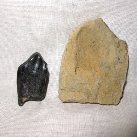 Jurassic Age Fossil Camarasaurus Dinosaur Tooth from the Morrison Formation of Wyoming