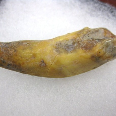 Pleistocene Age Fossil Cave Bear Tooth from the Ural Mountains of Russia