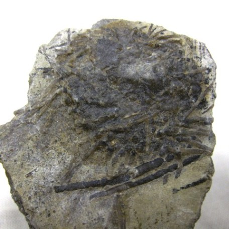 Fossil Mississippian Age Archaeocidaris Echinoid from St. Louis Missouri