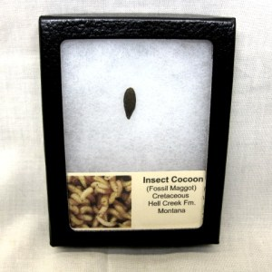 Fossil Cretaceous Age Insect Cocoon (Maggot) from the Hell Creek Formation of Montana
