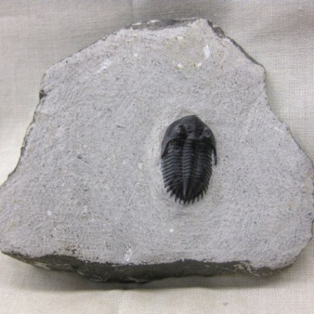 Fossil Devonian Age Metacanthina Trilobite from Atchana Morocco North Africa