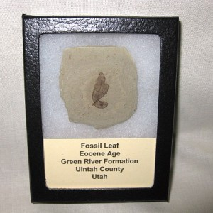 Fossil Eocene Age Leaf from the Green River Formation of Utah