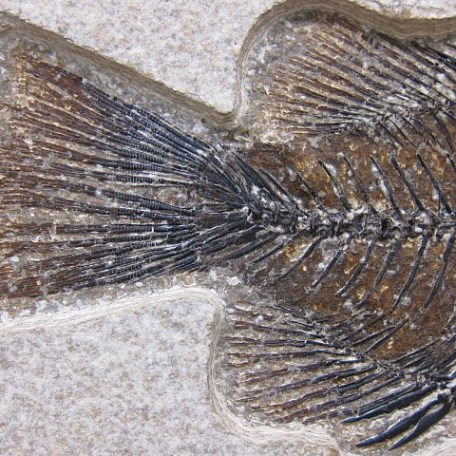 Fossil Eocene Age Cockerellites Liops Fish From The 18 inch Layer of Fossil Lake Wyoming